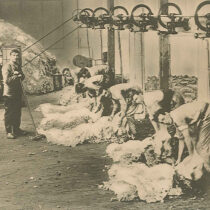 Lister Sheep Shearing Machines in Use